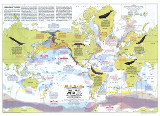 1976 Great Whales - Migration And Range Map 76 x 56cm